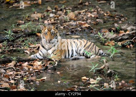 Bengal tiger (Panthera tigris) - Stock Photo