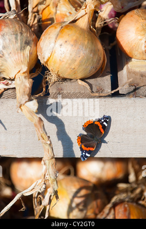Garden Butterfly, Red Admiral (Vanessa atalanta) basking on onion-drying frame, - Stock Photo
