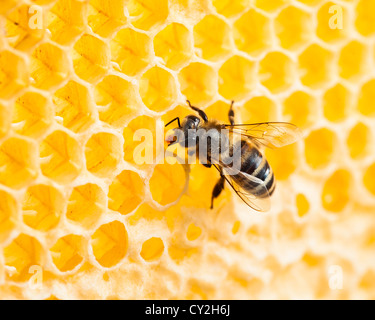 bee working in honeycomb macro shot - Stock Photo