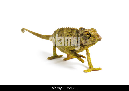 Jackson's Chameleon on white background. - Stock Photo