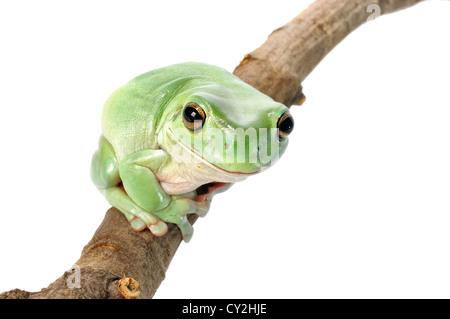 Whites Tree Frog on a white background. - Stock Photo