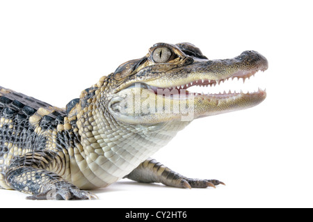 Close-up of young American Alligator on white background. - Stock Photo