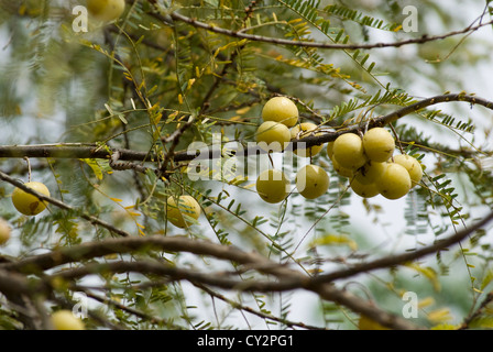 Indian gooseberry; Emblica officinalis or Phyllanthus emblica L,Tamil Nadu,India. - Stock Photo