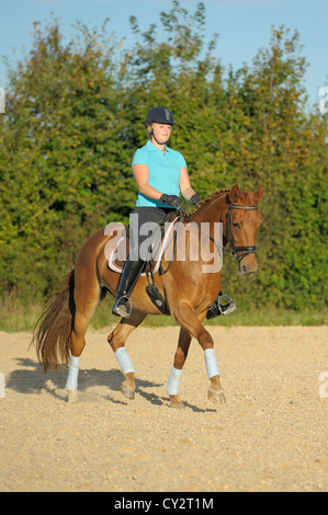 Dressage rider on back of a Bavarian horse riding medium trot - Stock Photo