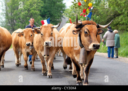 France, Midi-Pyrenees: Cow parade during Transhumance in Aubrac - Stock Photo