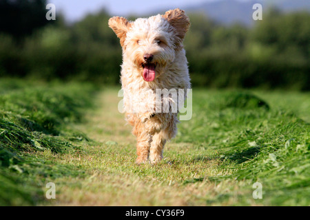 Running Cockapoo in field of cut grass - Stock Photo