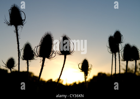 Thistles silhouetted against the sunset, take in Berrington Orchard, Tenbury Wells, Worcestershire. - Stock Photo