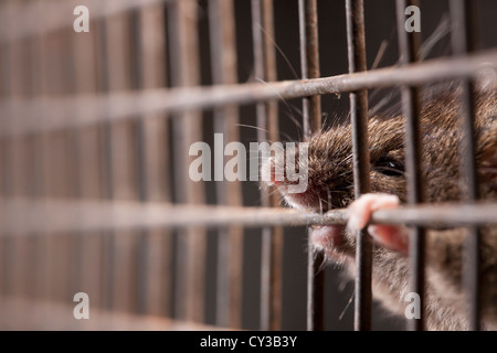 A house mouse gnawing at the mesh of a cage trap. - Stock Photo