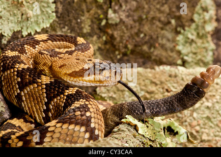 Northern Black-tailed Rattlesnake, Crotalus molossus, Native to Southwestern US - Stock Photo