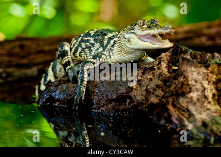 American Alligator, Alligator mississippiensis, Native to Southern United States - Stock Photo
