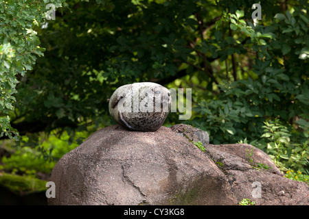 Grey seal, Gråsäl (Halichoerus grypus) - Stock Photo