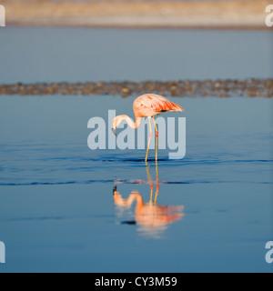 Chilean Flamingo (Phoenicopterus chilensis), Chile - Stock Photo
