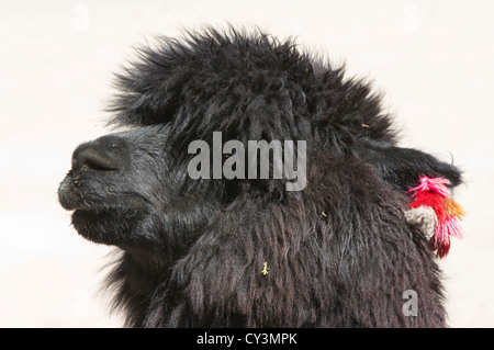 Alpaca (Lama pacos), Camelidae family, Lauca National Park, Chile - Stock Photo