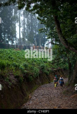 Tea Plantations In Gisakura Village - Rwanda - Stock Photo