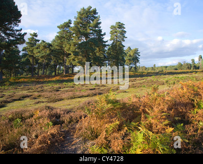 Heathland landscape autumn Upper Hollesley Common ,Suffolk, England - Stock Photo
