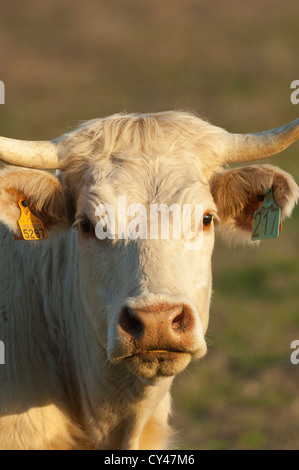 Tagged cow looking at camera in Alentejo, Portugal - Stock Photo