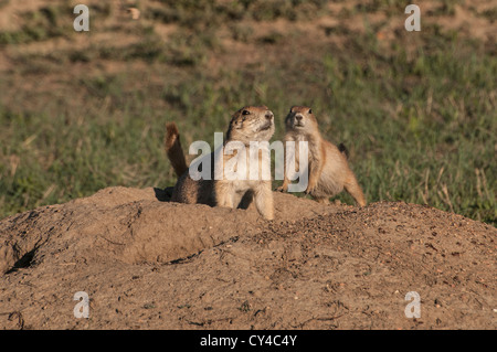 Black-tailed Prairie Dog (Cynomys ludovicianus) at its burrow in a Prairie Dog Town (Coterie) Theodore Roosevelt - Stock Photo