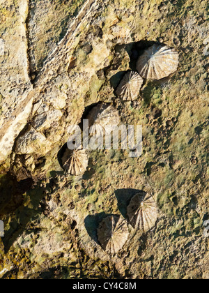Common European Limpet Patella vulgata growing on rocks on coast in Yorkshire England UK - Stock Photo
