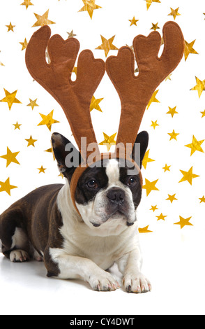 funny boston terrier dog at Christmas with antlers - Stock Photo