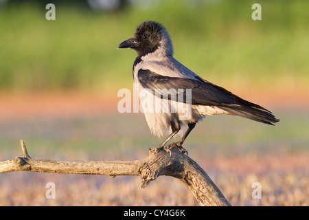 Hooded crow (Corvus cornix) perched on a tree branch, soft focus green and orange background, space to left of subject - Stock Photo