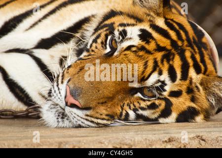 tiger lying, close up face tiger - Stock Photo