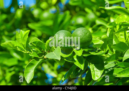 Unripe green oranges hanging on a tree branch - Stock Photo