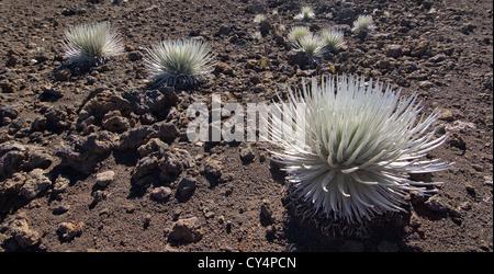 Elk284-5002 Hawaii, Maui, Haleakala National Park, silversword cactus - Stock Photo
