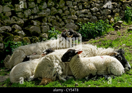 Swaledale ewe and lamb resting in a field North Yorkshire England UK United Kingdom GB Great Britain - Stock Photo
