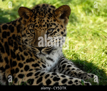 Close up of young Amur Leopard - Stock Photo