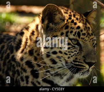 Amur Leopard close up - Stock Photo