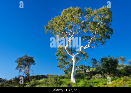 Old Ghost Gum in early morning light. - Stock Photo