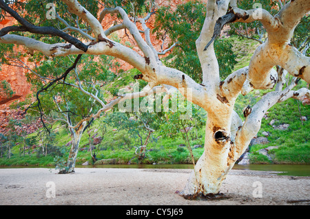River Red Gums in Simpsons Gap. - Stock Photo