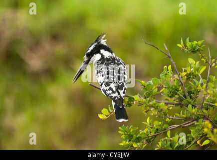 Pied Kingfisher (Ceryle Rudis) sitting on a bush with back to camera on the Masai Mara National Reserve, Kenya, - Stock Photo