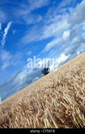 Lone tree in ripe wheat field in the British summer with a dramatic summer sky - Stock Photo