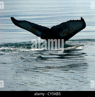 Whale's tail, Husavik Iceland - Stock Photo