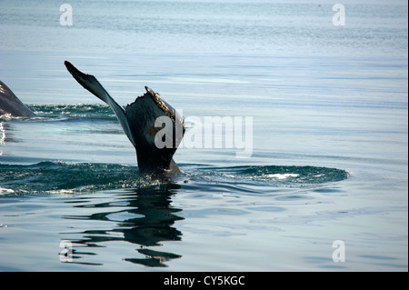 Whale's tail, Husavik Iceland - Stock Photo
