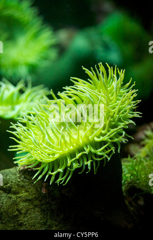 Close up view of  Giant Green Sea Anemone, Anthopleura xanthogrammica - Stock Photo