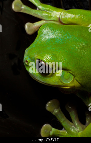 A beautiful green tree frog displays his huge green hands while climbing on black. - Stock Photo