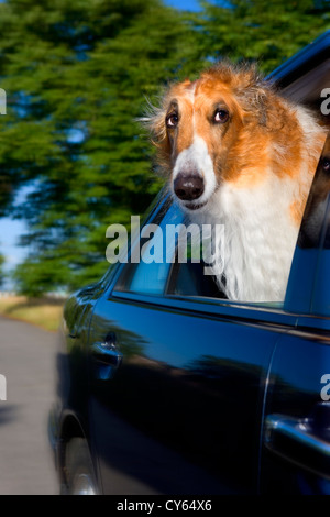 Borzoi dog looking out of car window - Stock Photo