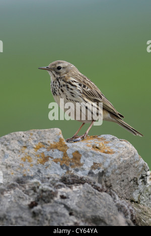 Meadow pipit (Anthus pratensis) - Stock Photo