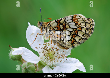 An adult of the rare heath fritillary butterfly (Melitaea athalia) perched on a bramble flower in East Blean Woods - Stock Photo