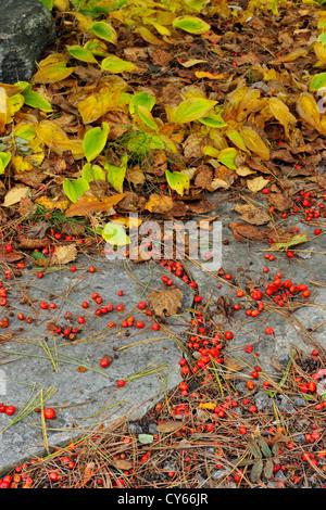 Marvelous ... Fallen Mountain Ash Berries Collected On Patio Stones, Greater Sudbury,  Ontario, Canada