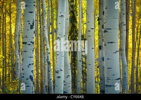 Aspen grove in fall colors in the San Juan mountains of Colorado - Stock Photo