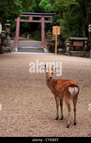 A wild Japanese deer stands in front of a red torii gate at the entrance to Kasuga-Taisha Shrine in Nara, Japan. - Stock Photo