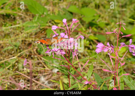 European Peacock Butterfly, Inachis io on Rosebay Willowherb - Stock Photo