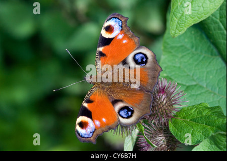 Peacock butterfly (Inachis io) UK - Stock Photo