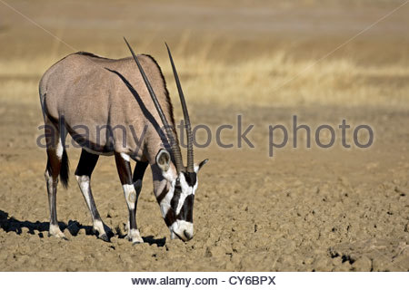 Gemsbok (Oryx gazella) licking minerals from mud at waterhole in the Kalahari desert, Kgalagadi Transfrontier Park, - Stock Photo
