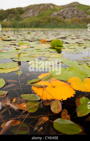 White Water Lily in freshwater Scottish loch - Stock Photo