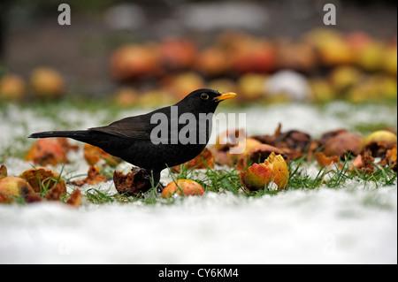 Male blackbird (Turdus merula) - Stock Photo