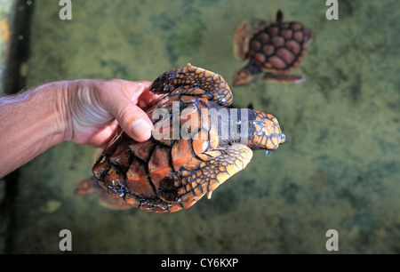 Man holding juvenile loggerhead turtle at Koggala Habaraduwa turtle hatchery in Sri Lanka - Stock Photo